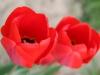 Blum_Red Flower